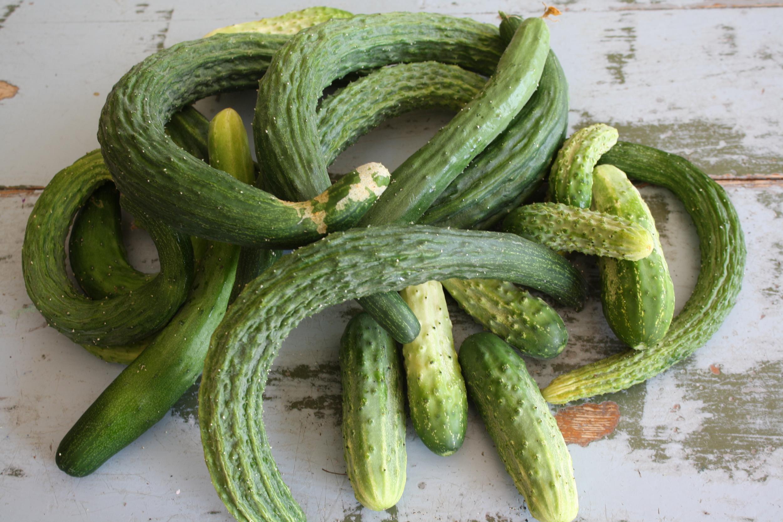Cucumbers 'Suyo Long', 'Tasty Jade' (Asian variety, winner of our taste tests!), 'Northern Pickling'