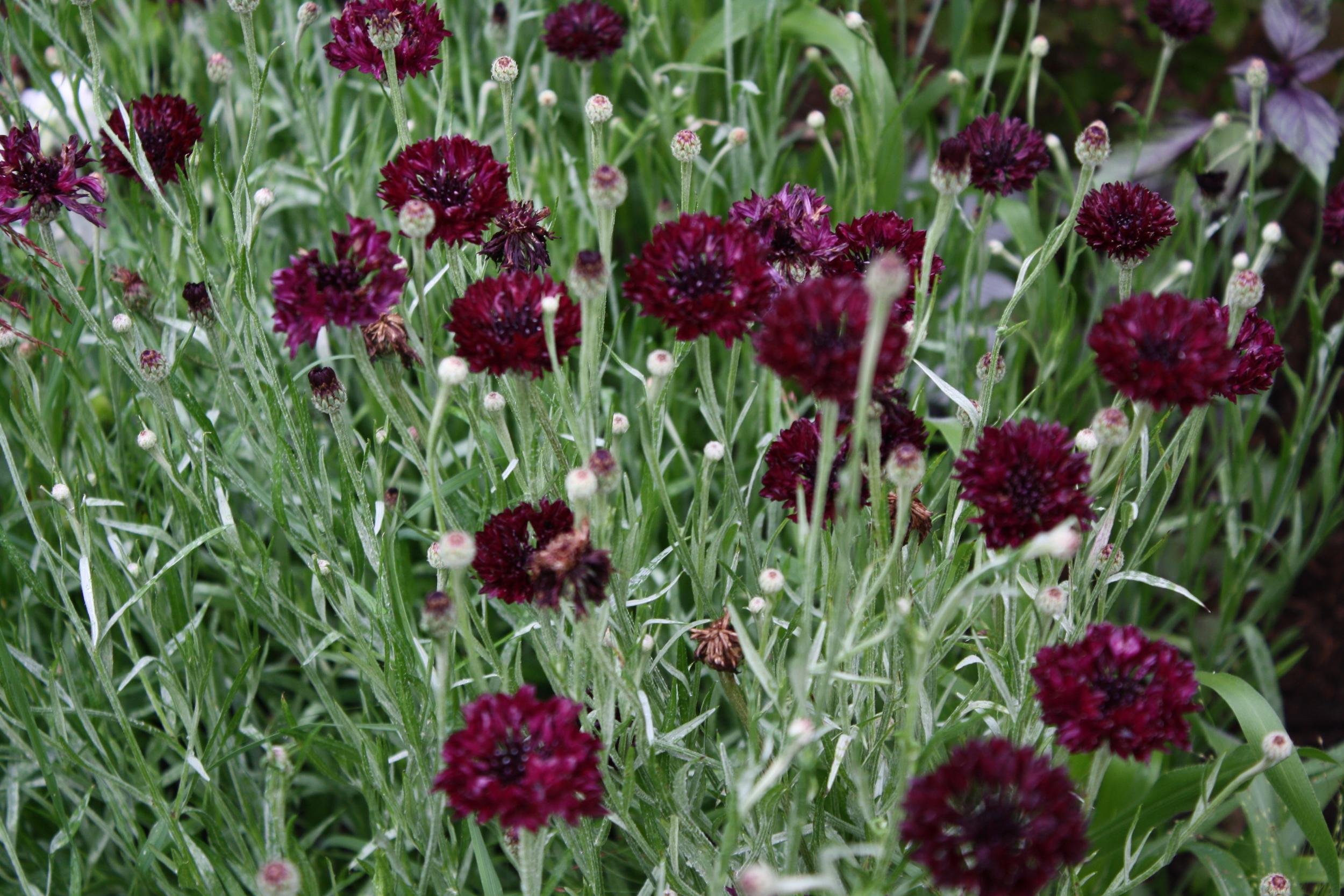 Cornflower 'Black Garnet'