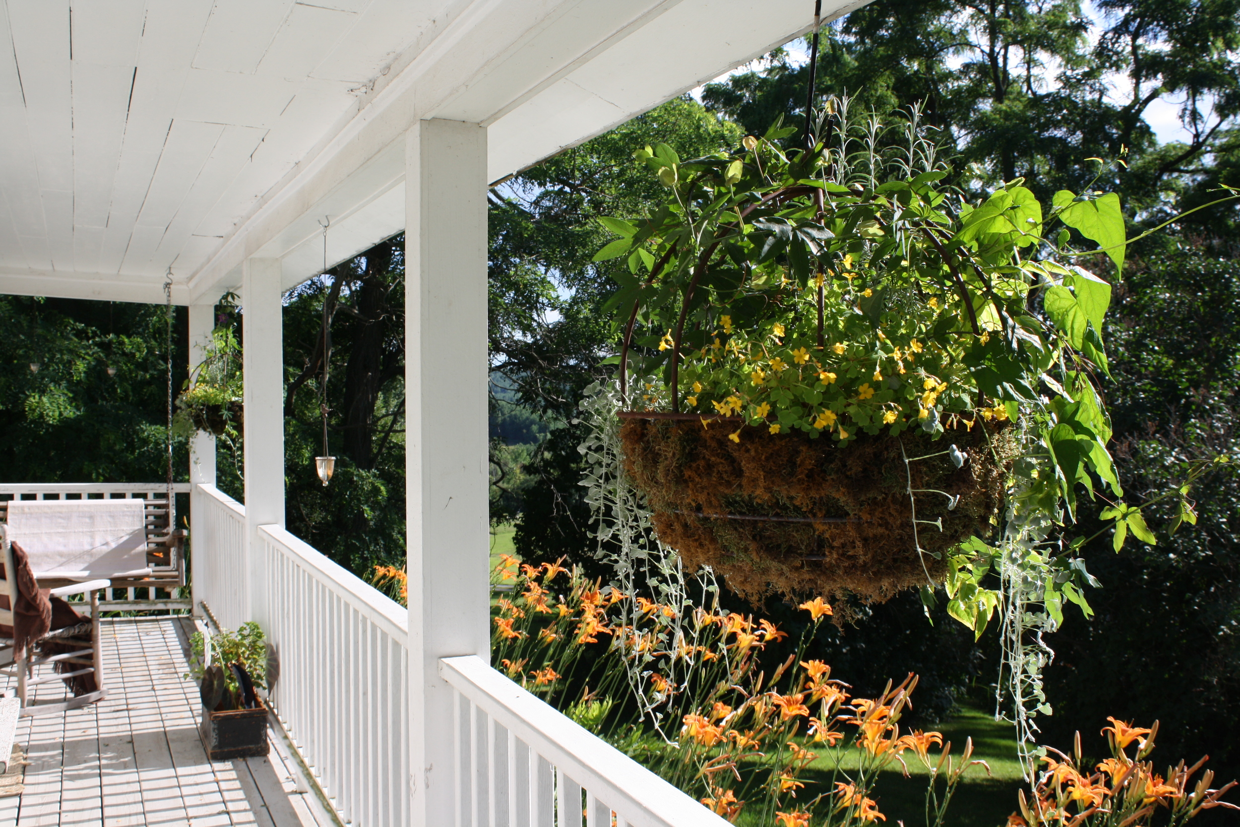 hanging baskets with dichondra, moonflower, passionflower, solanum jasmoides, oxalis, ornamental curry