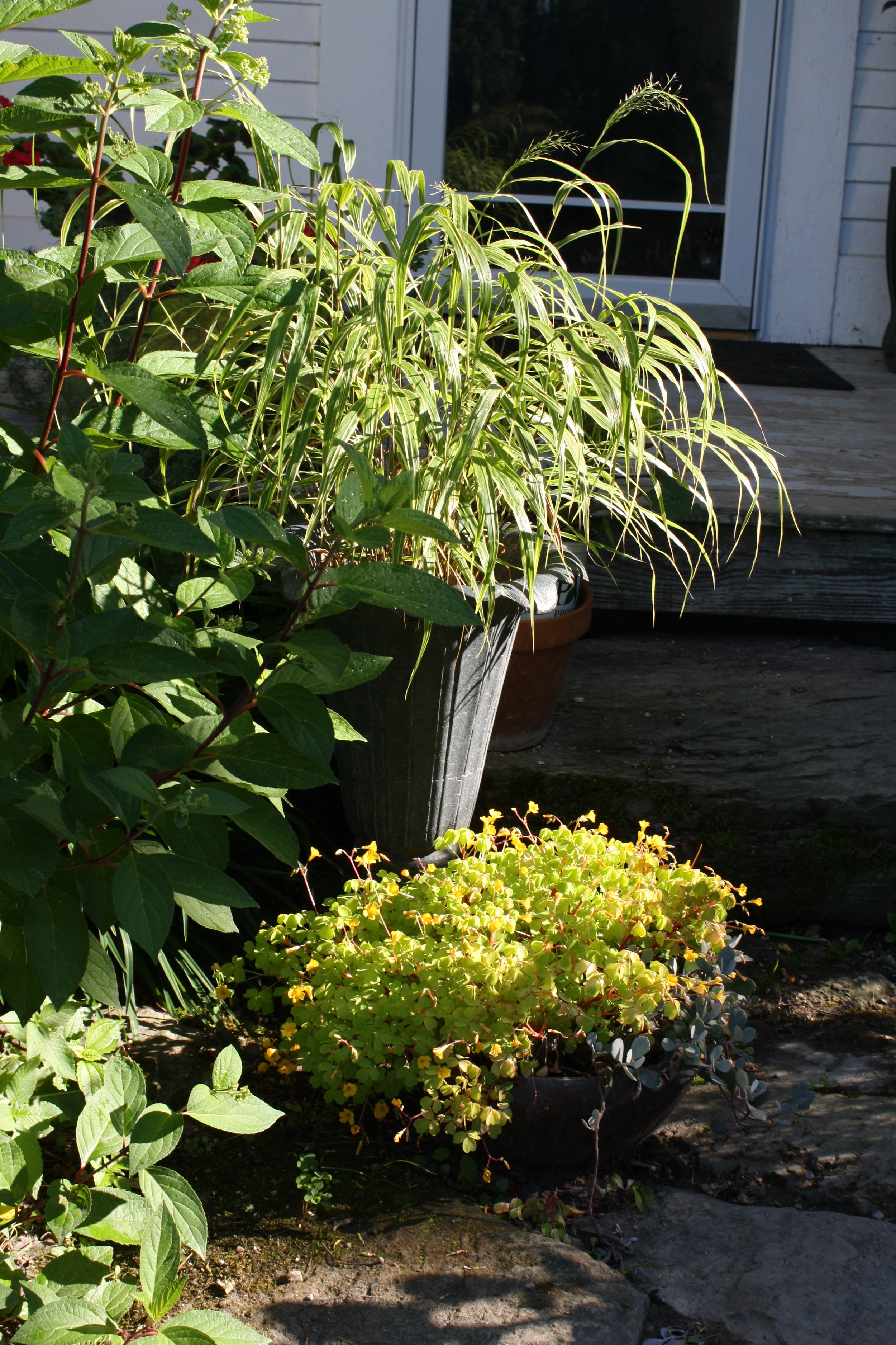 tulip urn with Hakonechloa (Japanese reed grass) and bowl planter with 'Fireglow' oxalis and dwarf blue Kalanchoe