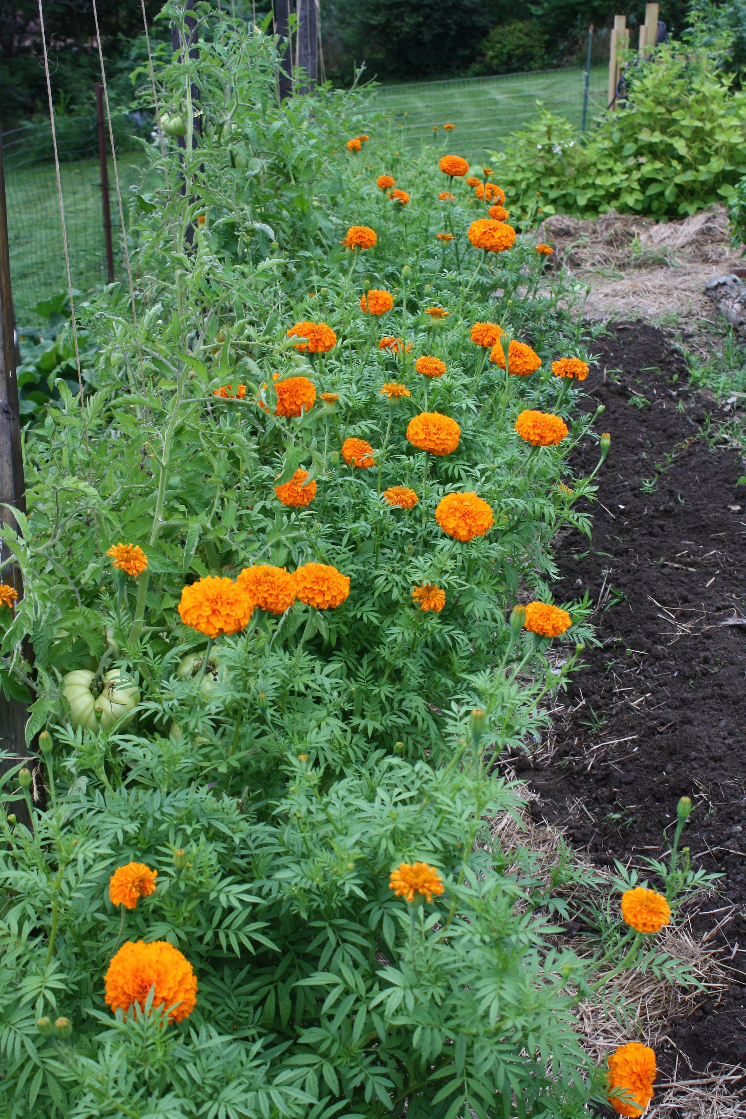 'Giant Orange' French Marigolds beginning to bloom