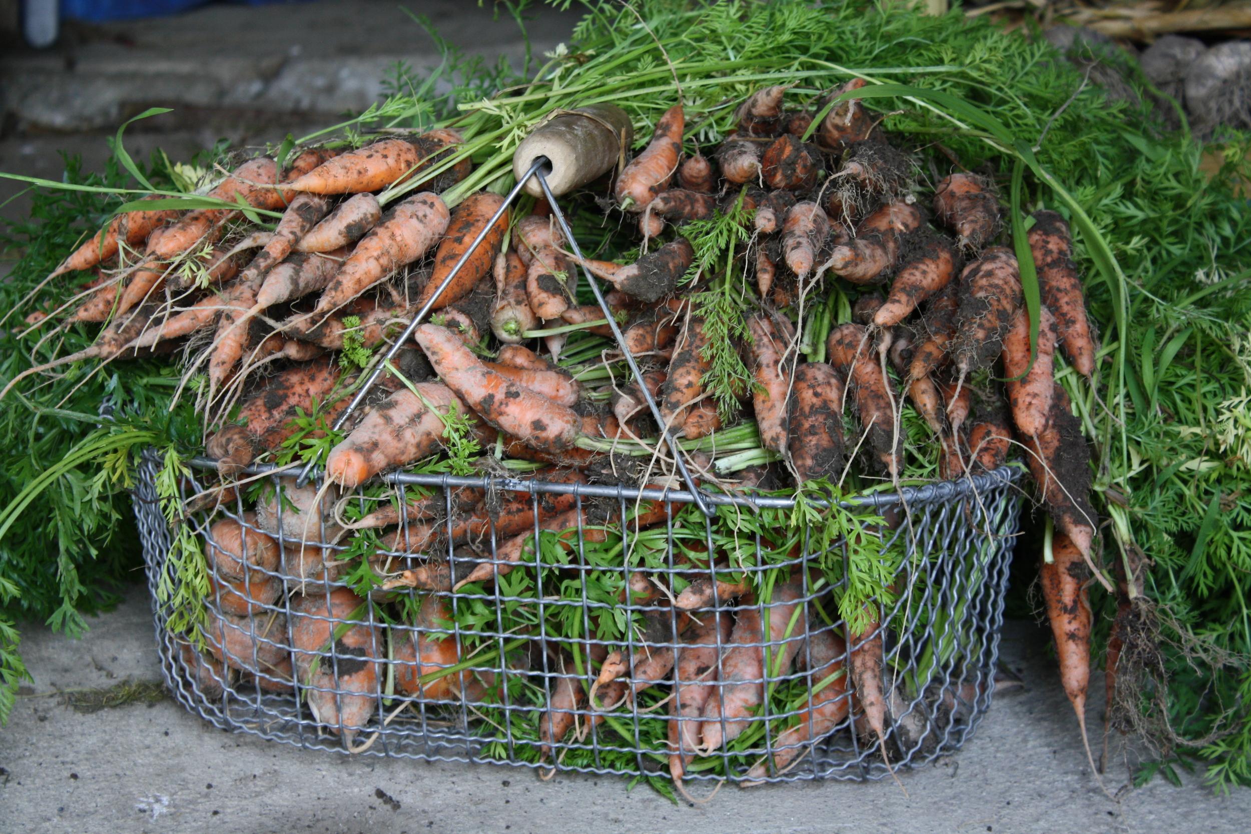 Carrots 'Tonda di Parigi'