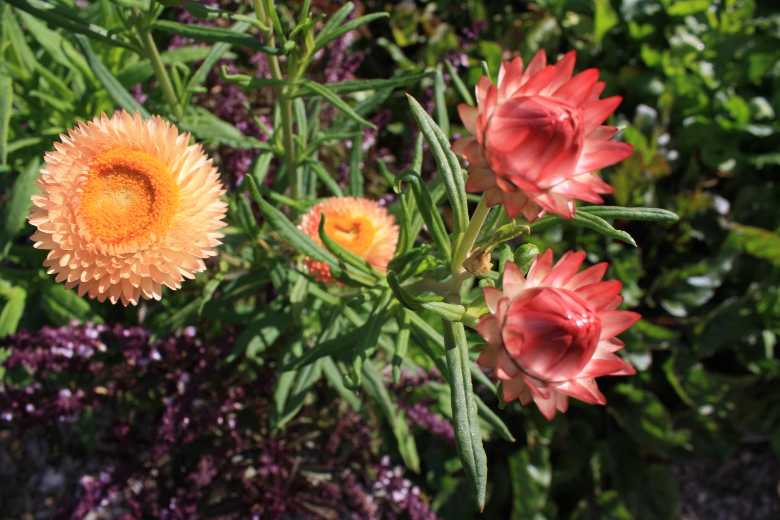 apricotstrawflower.jpg