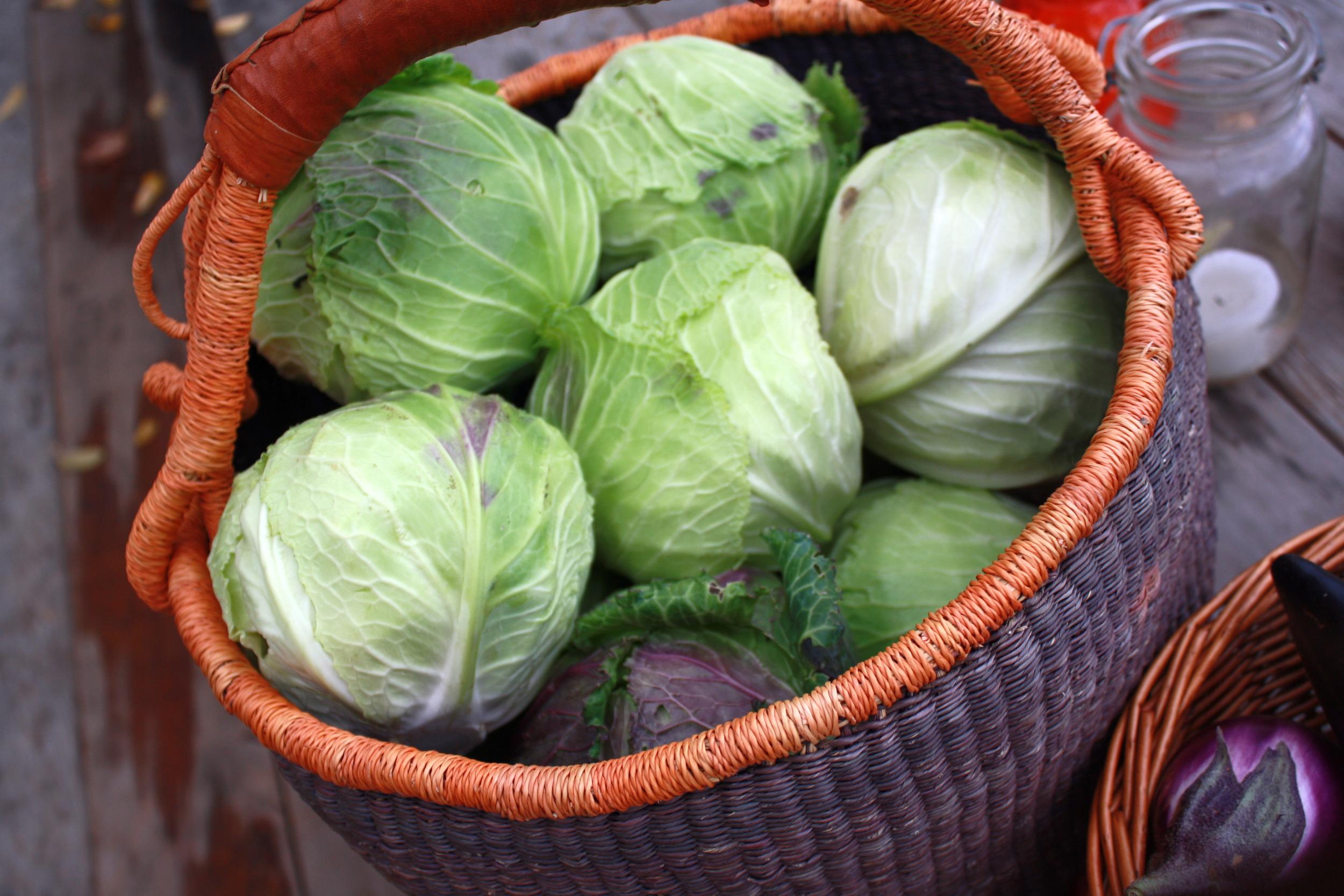 Beautiful 'Deadon' savoy cabbage