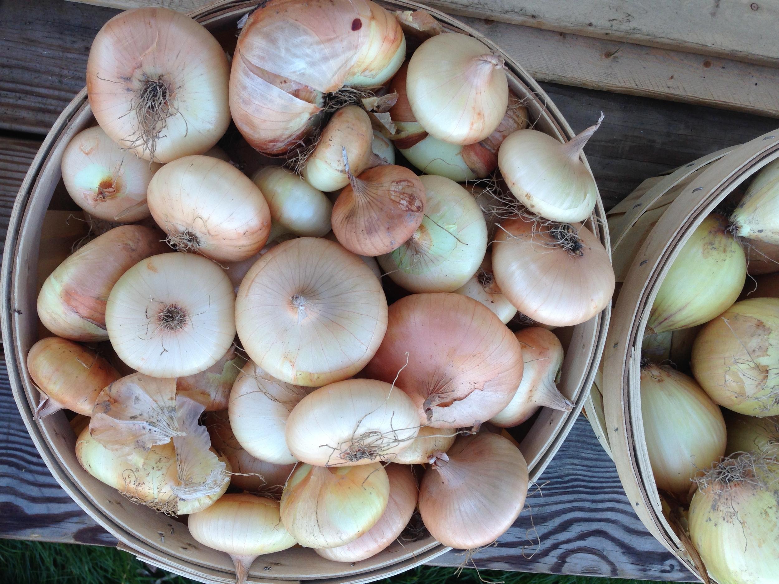 'Gold Coin' cipolllini onions
