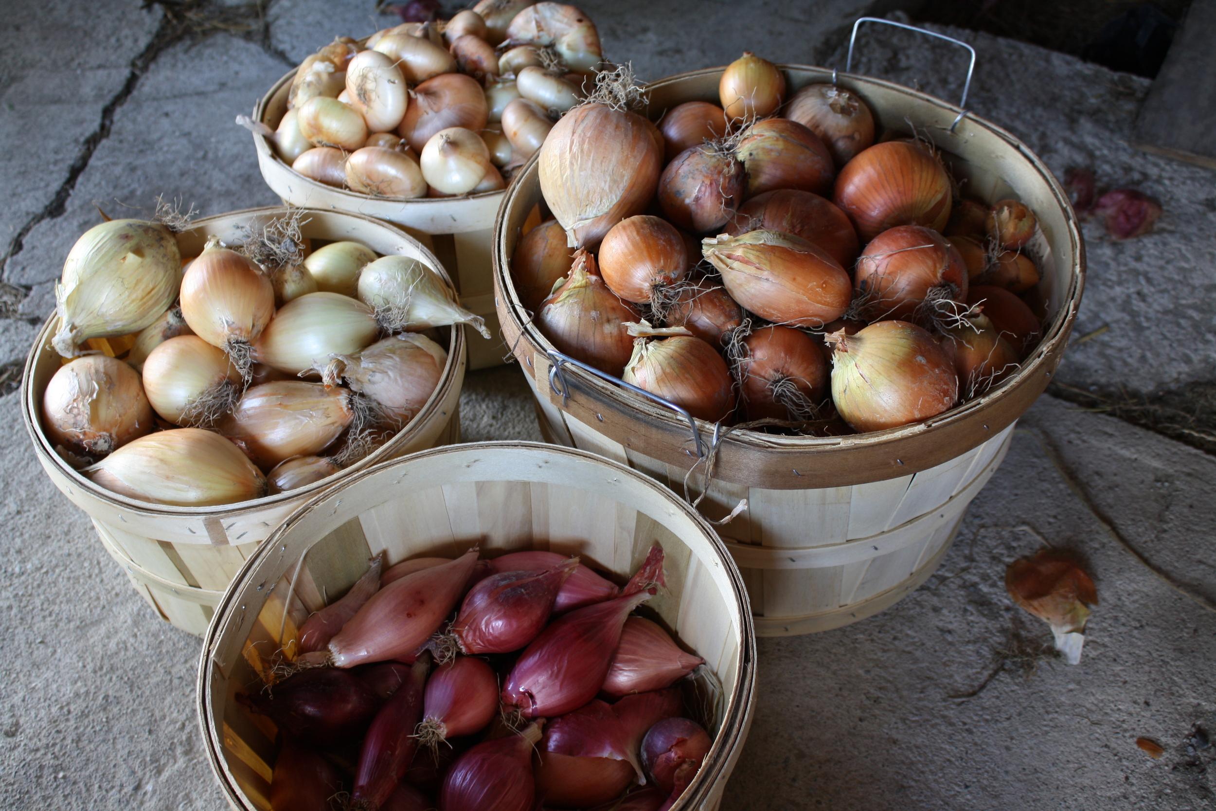 'Gold Coin', 'Alisa Craig', 'Pontiac', and 'Rossa Lunga di Tropea' onions