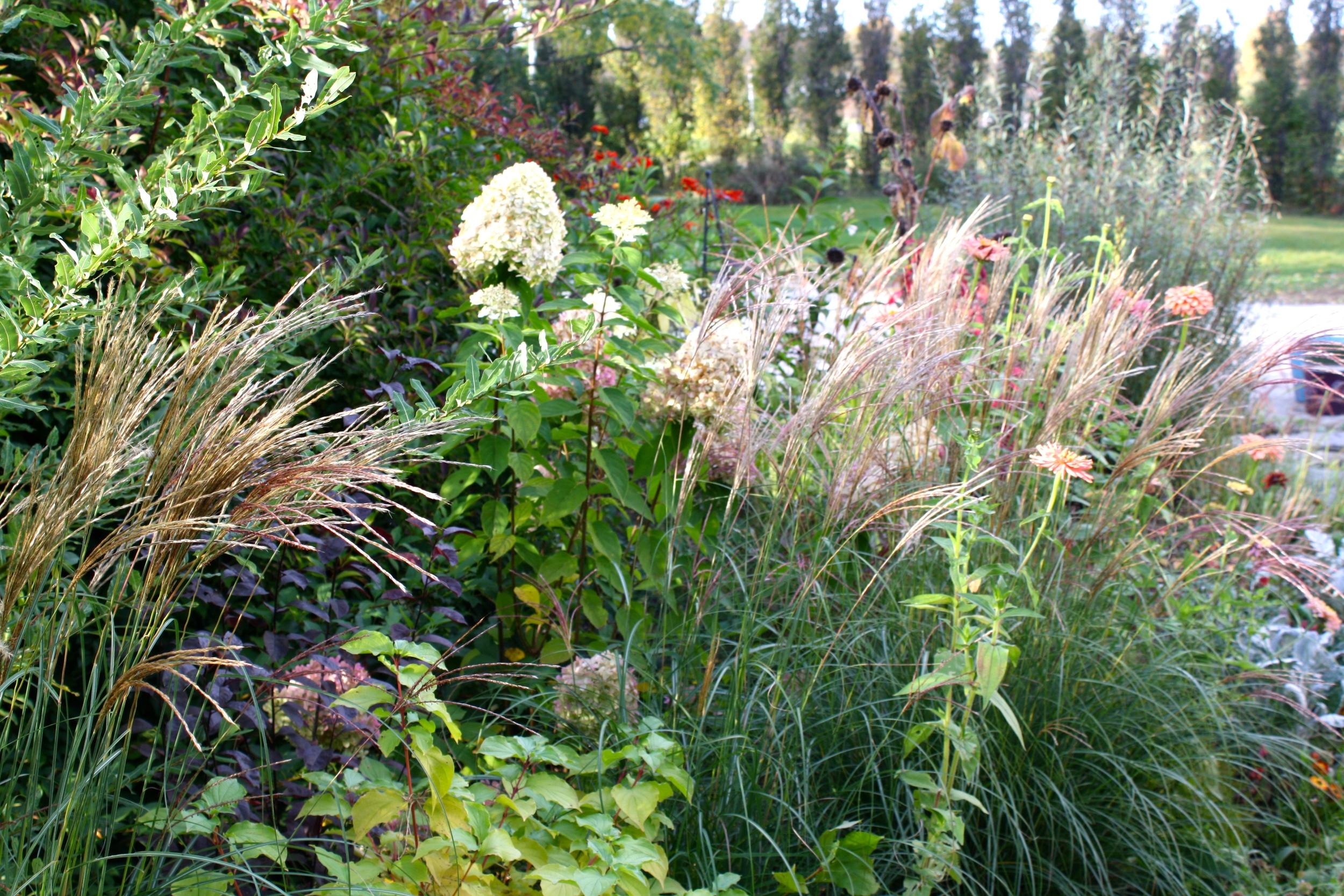 Miscanthus 'Adagio' blooming