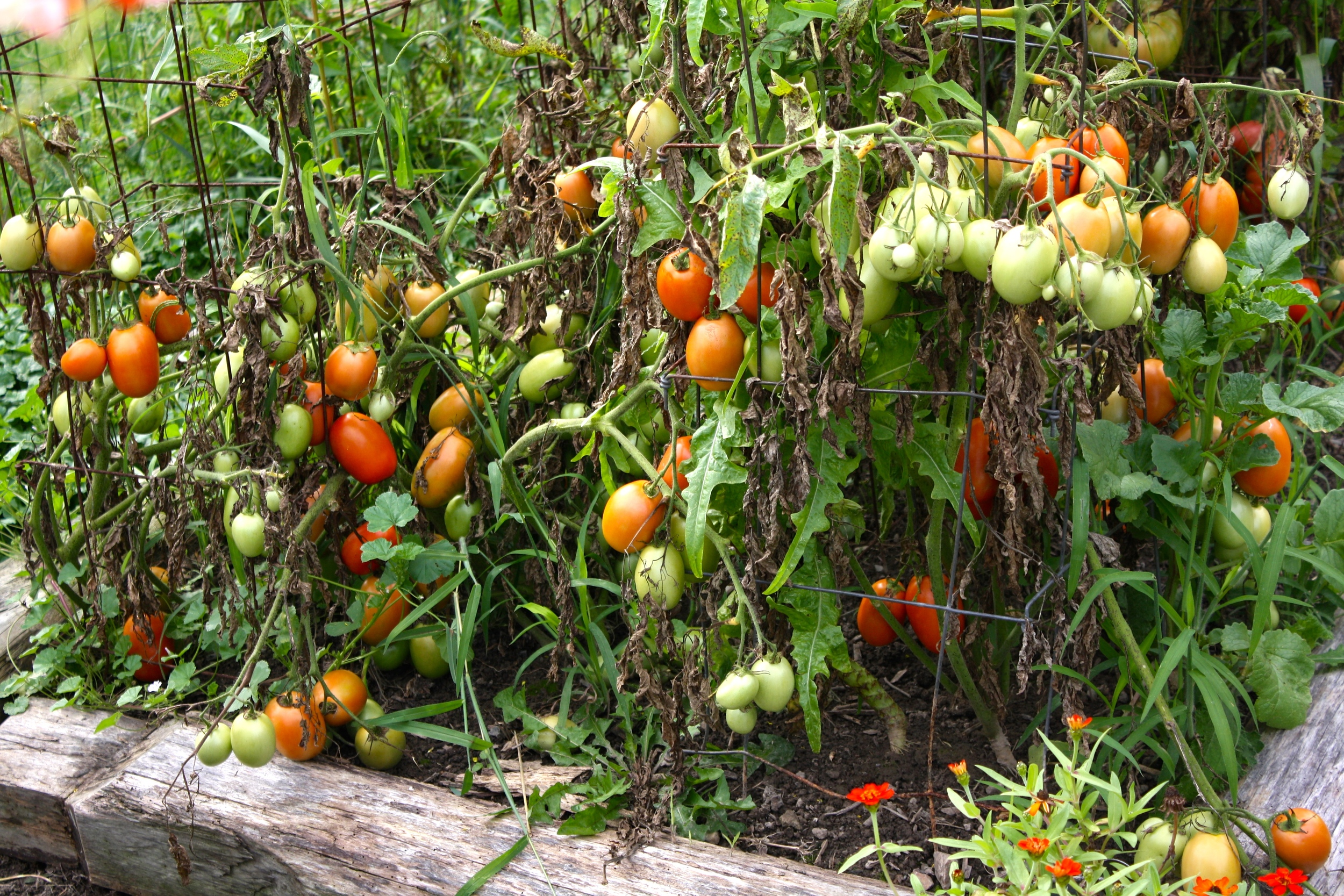 Often what my ORGANIC tomato plants look like by early September. Fruit is still fine though.