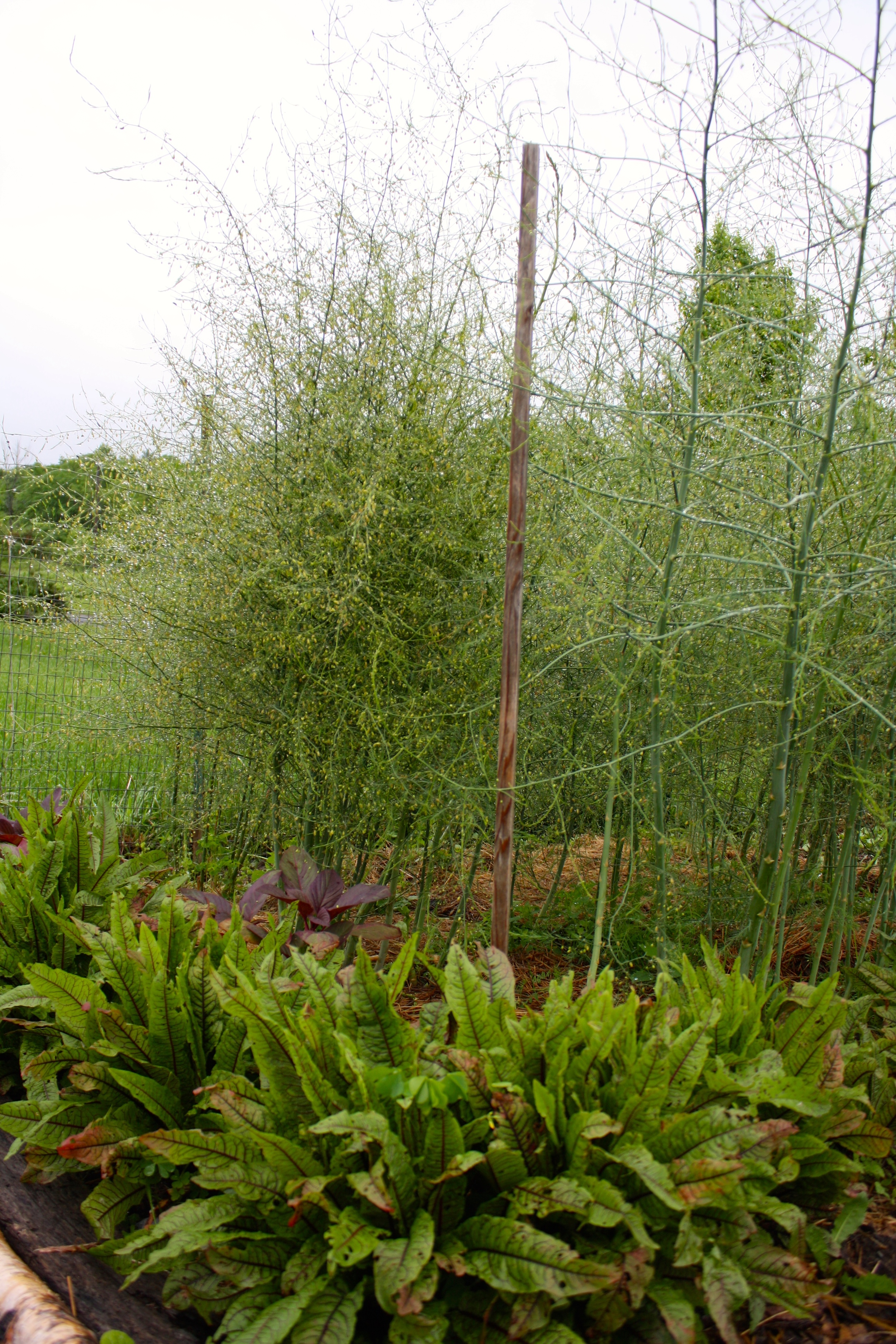 """When the harvesting is done asparagus """"ferns"""" will grow 5 feet tall"""