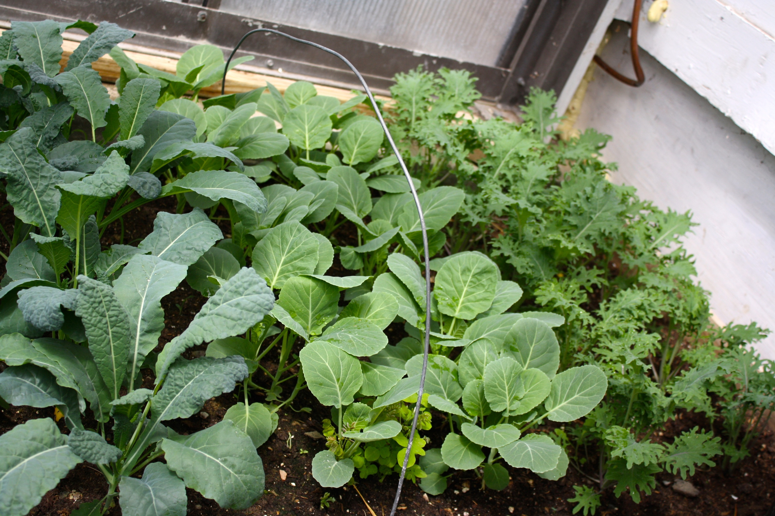 Lacinato, (not so) Red Russian Kale, Collards for young salad harvest