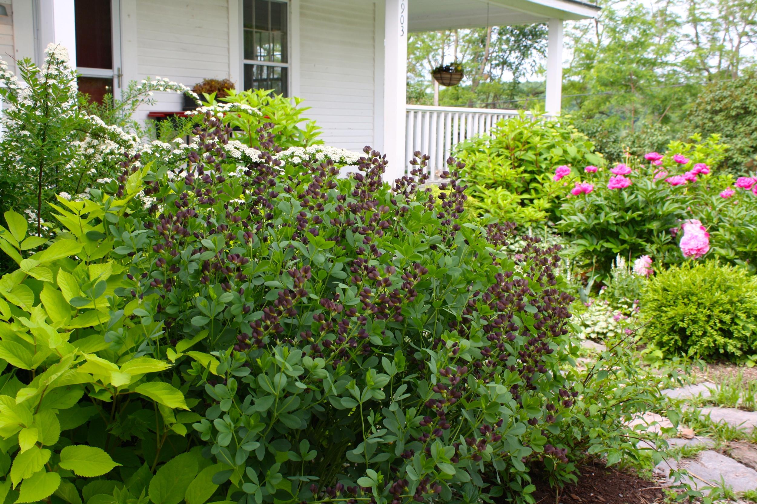 Baptisia 'Chocolate Decadence' blooming