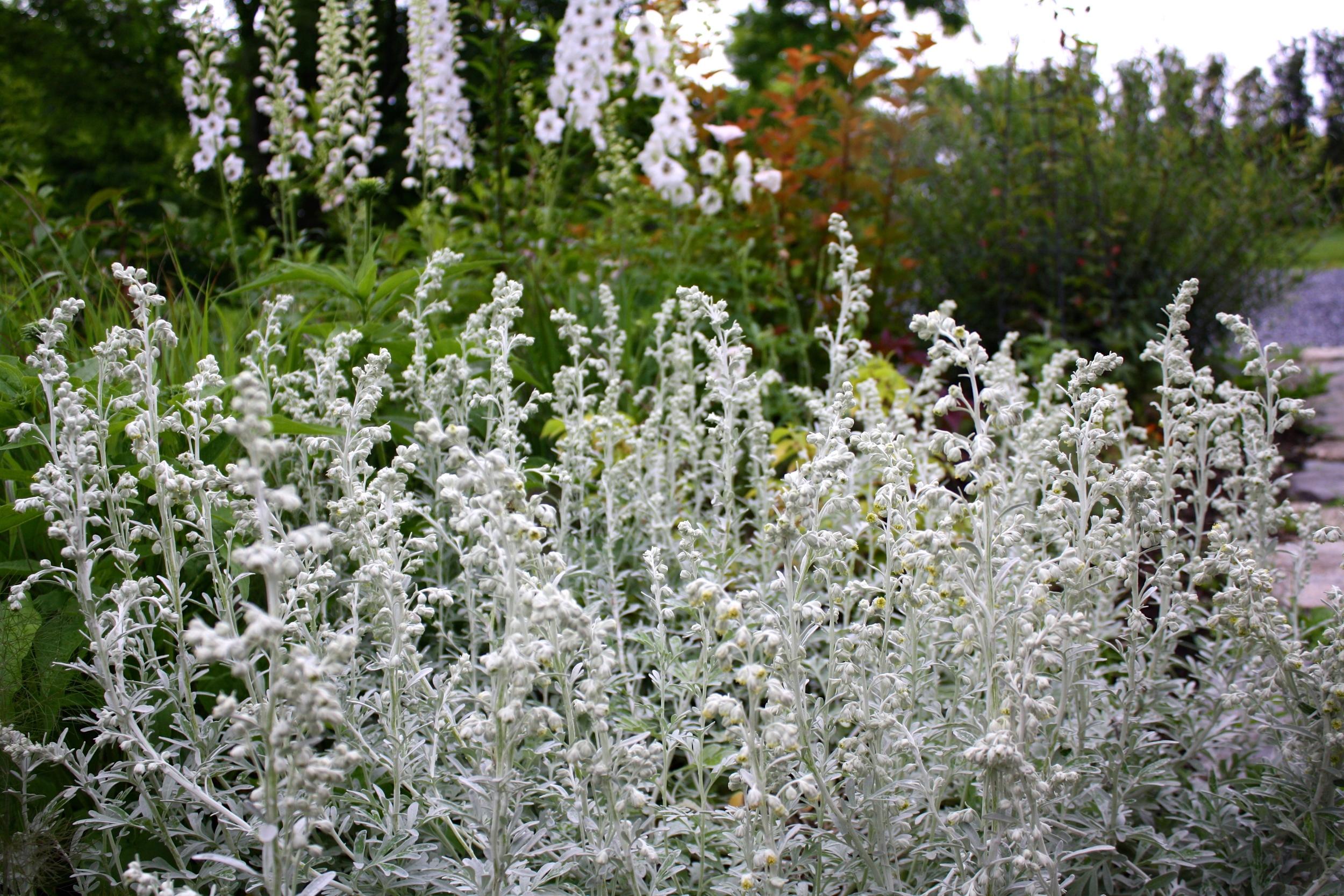Artemisia stelleriana 'Silver Brocade' blooming