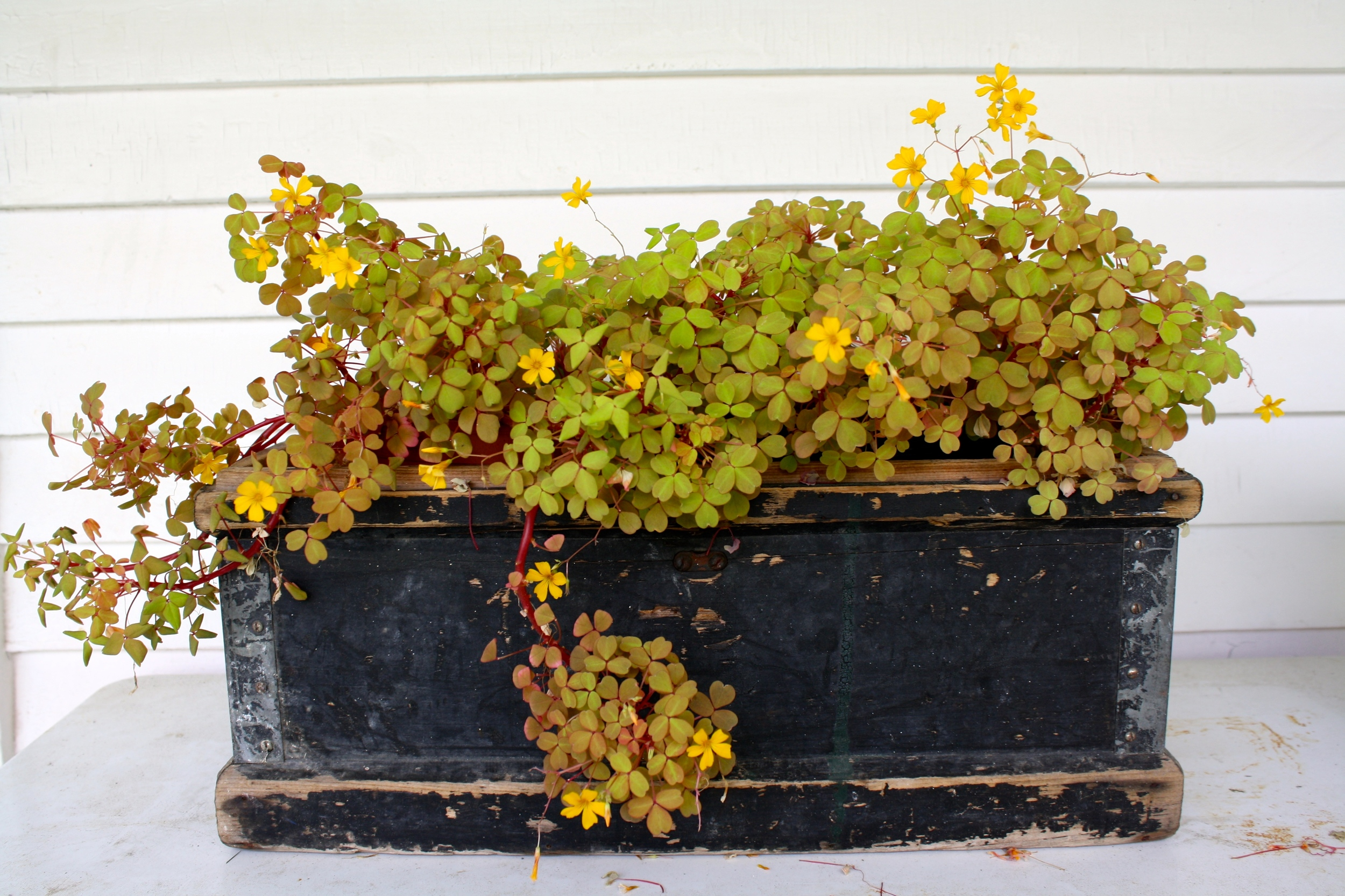 Old box with Oxalis 'Fireglow'. Proof that I know when to leave well enough alone.