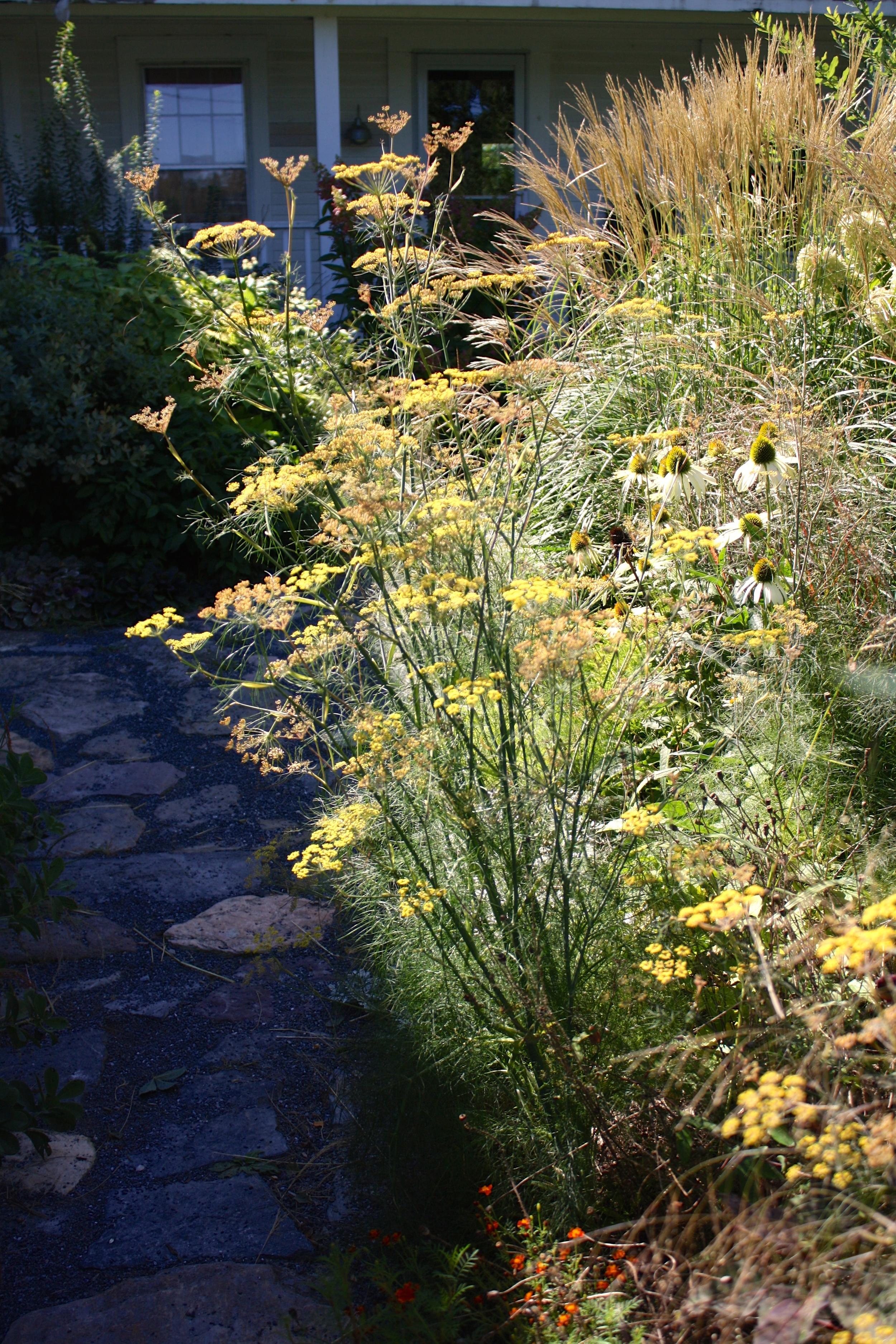 Bronze fennel, Miscanthus 'Adagio' blooming late summer