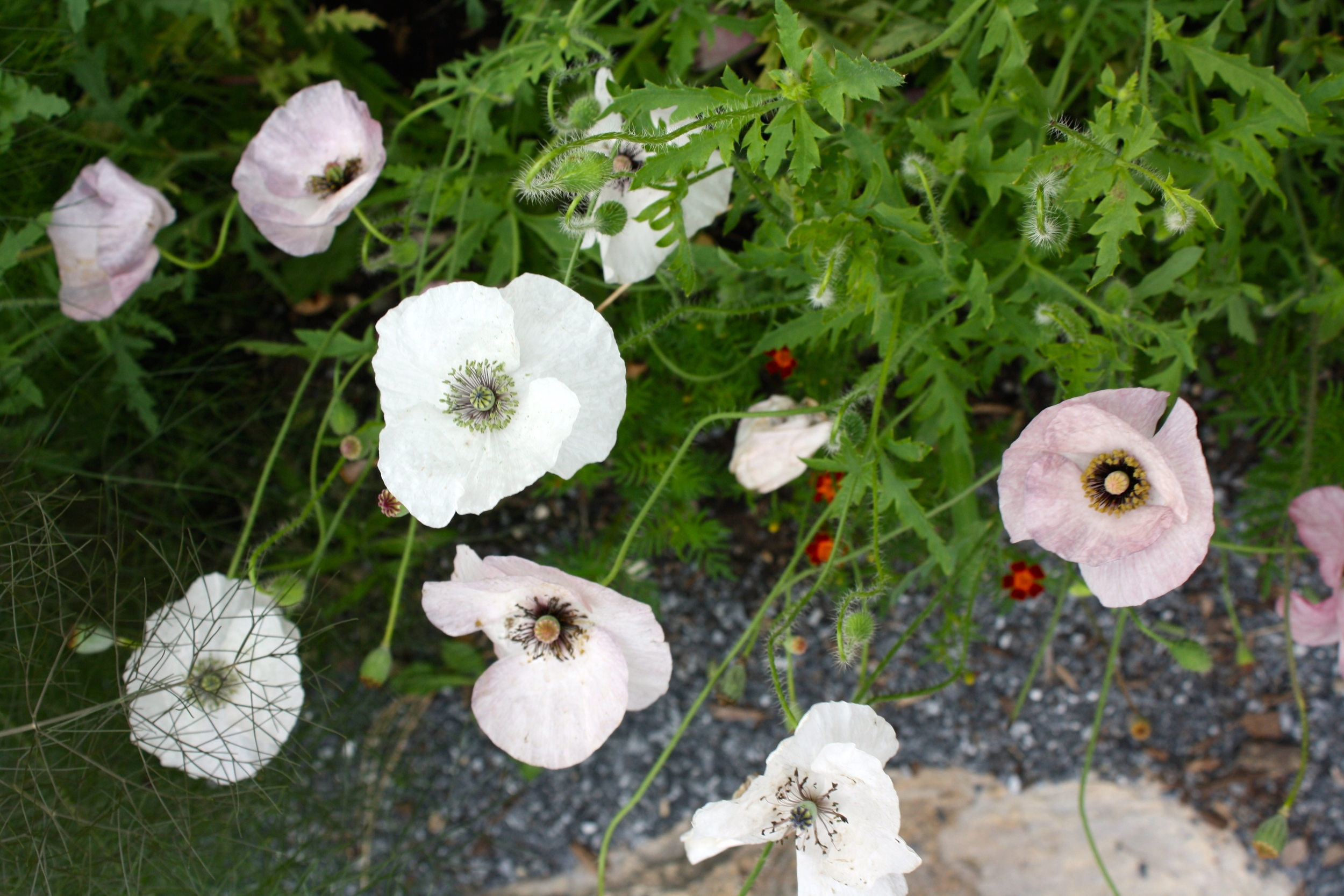 Papaver 'Mother of Pearl'