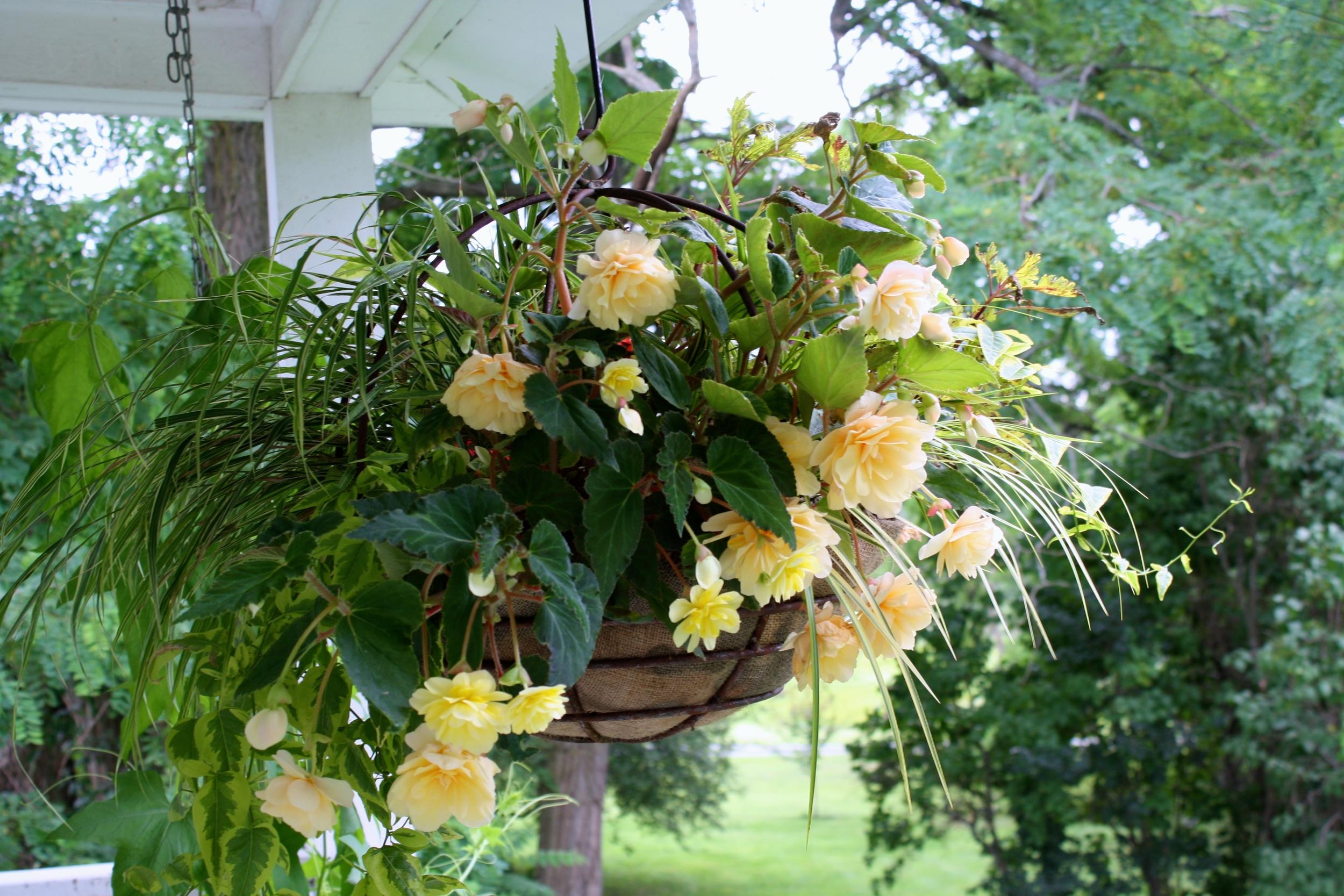 Hanging basket of 'Peaches and Cream' begonia, Acorus 'Ogon', Hakonechloa grass, Solanum jasminoides 'Variegata', Coleus 'Pineapplette'