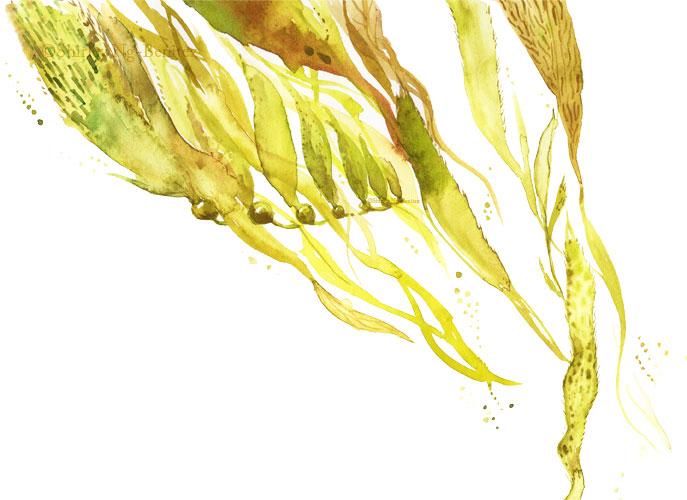 kelp_72.jpg