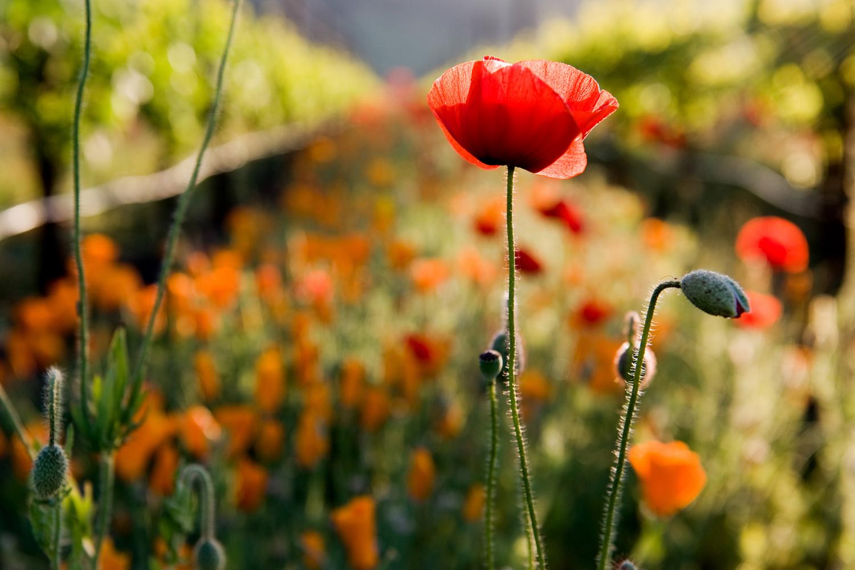 012_016_Poppys_Vineyards_115.jpg
