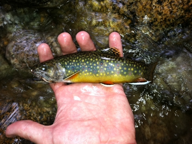 Nothing more beautiful than a brookie in spawning colors.