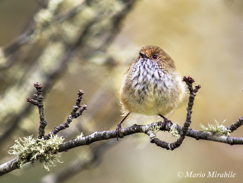 Juvenile scarlet robin copy.jpg