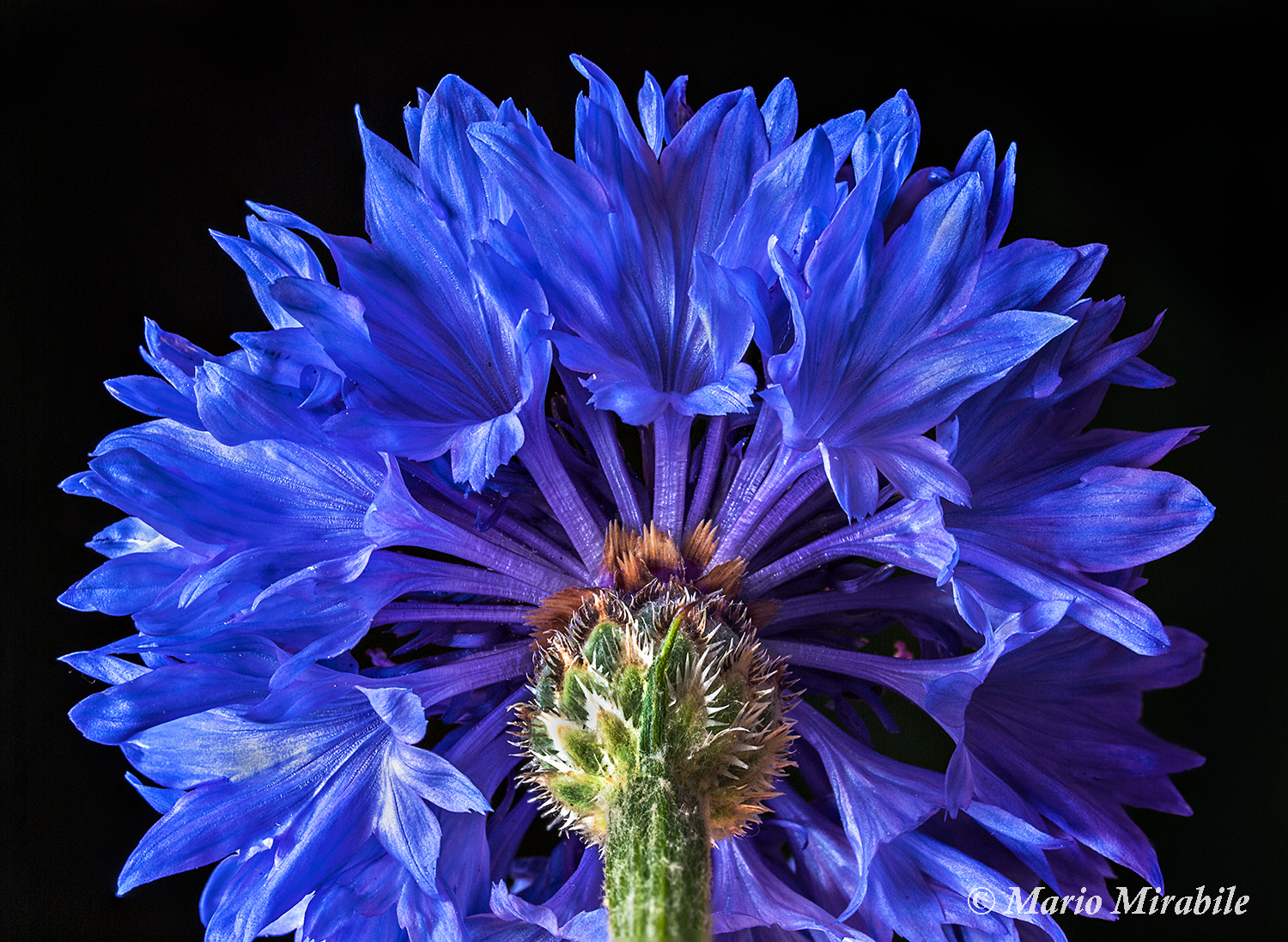 Cornflower blues copy.jpg