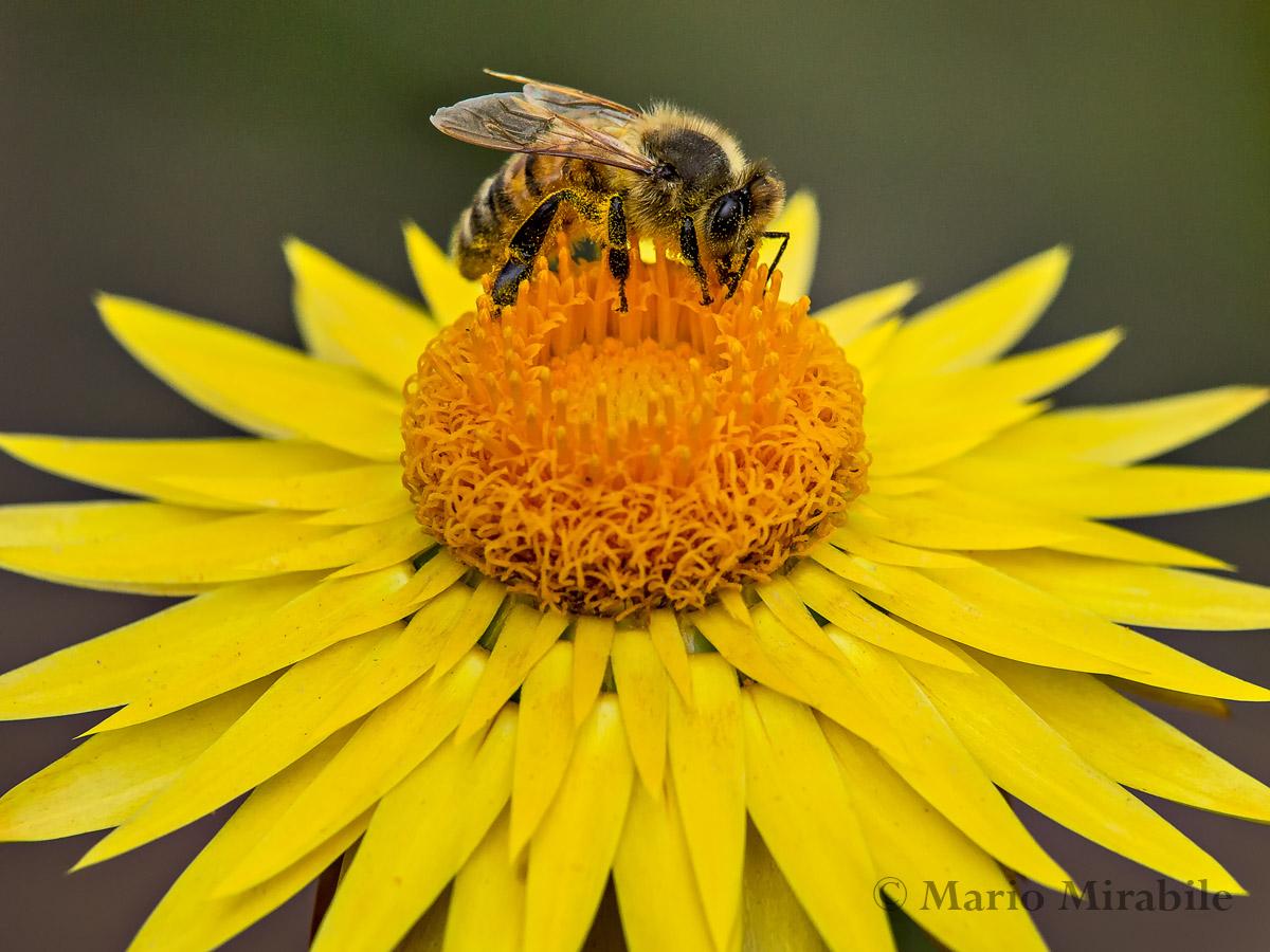 Everlasting Bee - Canon Print copy.jpg