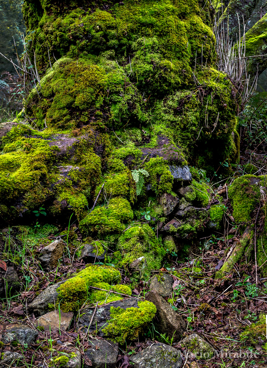 Mossy tree copy.jpg