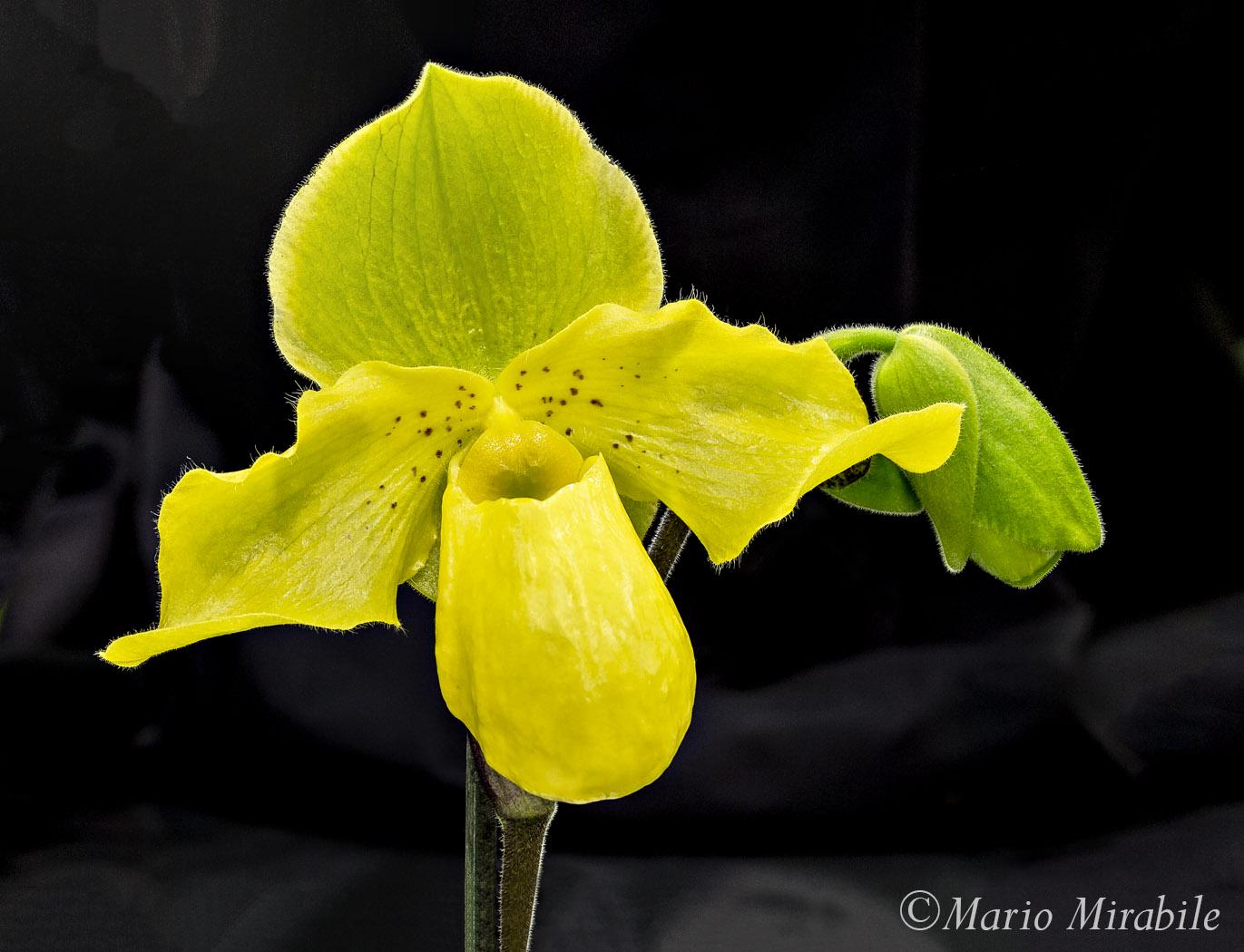 Yellow Orchid copy.jpg