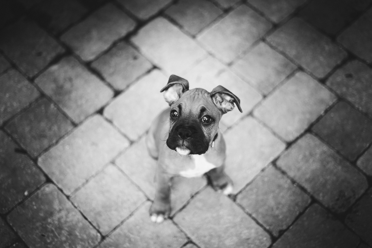 dog-boxerdog-marc-amesse-photography