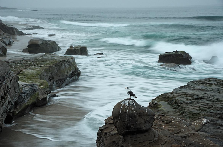 Seagull In La Jolla, San Diego