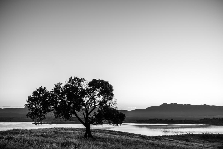 Tree At Lake Henshaw