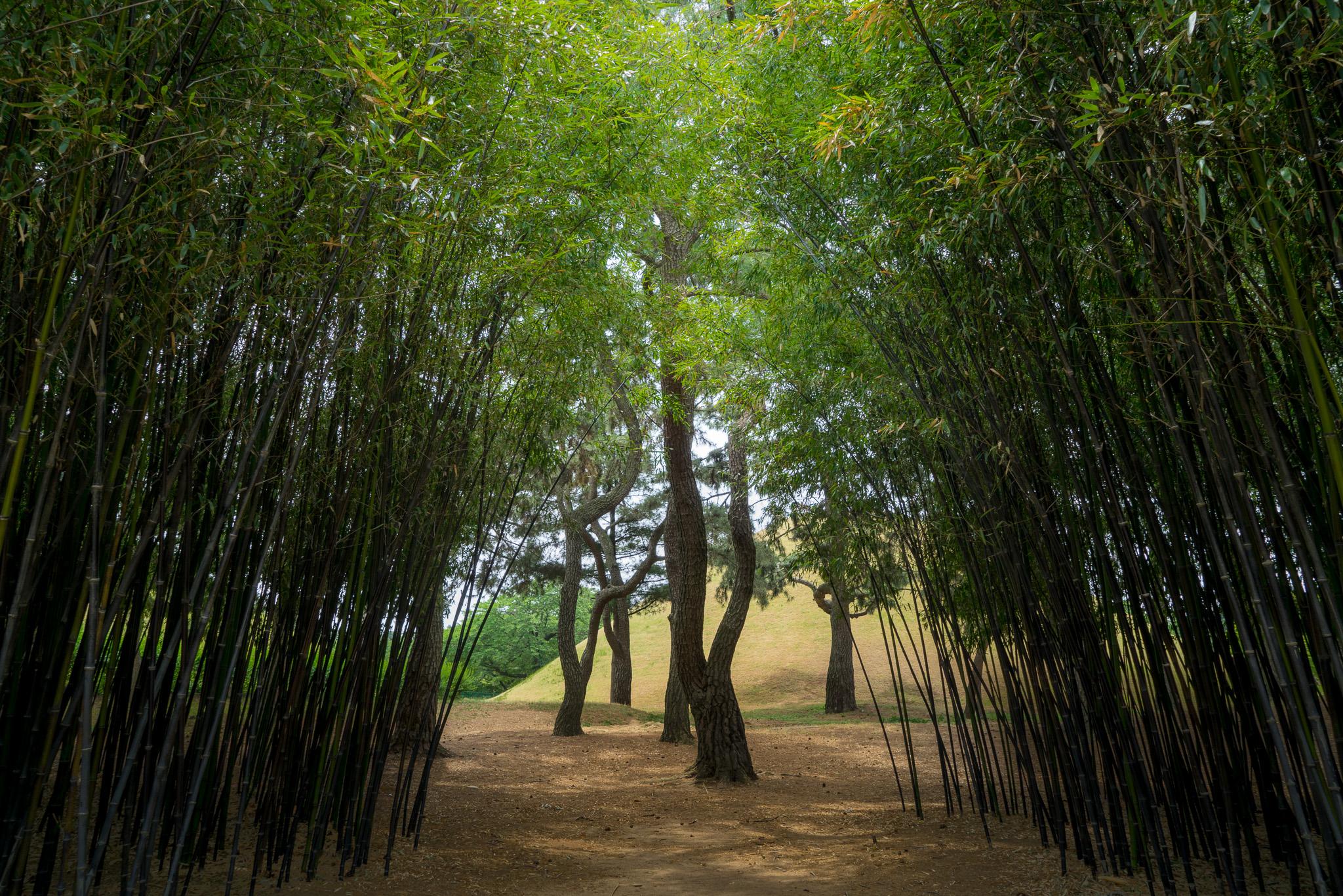 Mini Bamboo Grove In Gyeongju