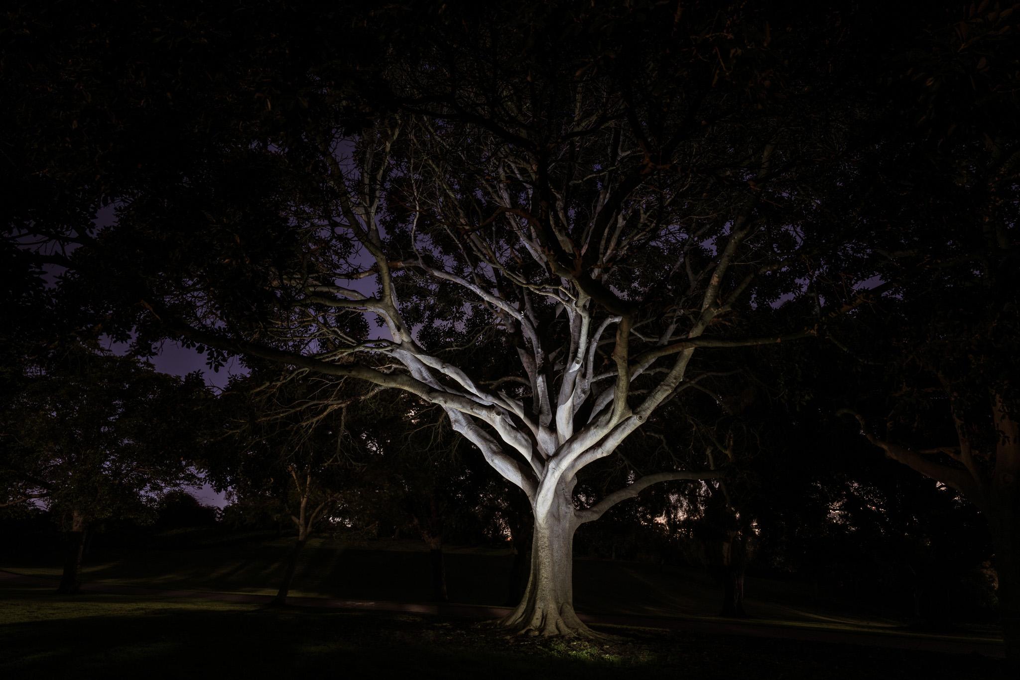 Tree, Kate Sessions Park
