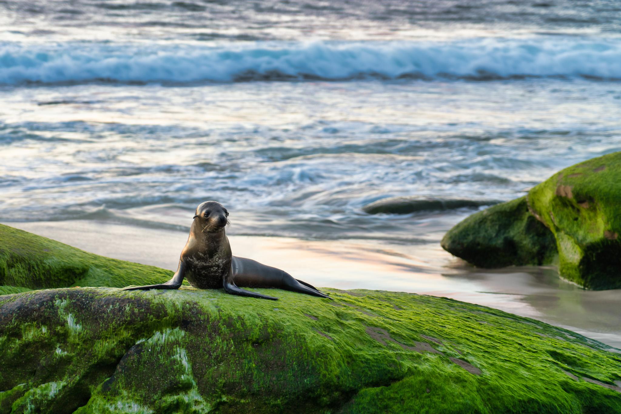 Sea Lion In La Jolla