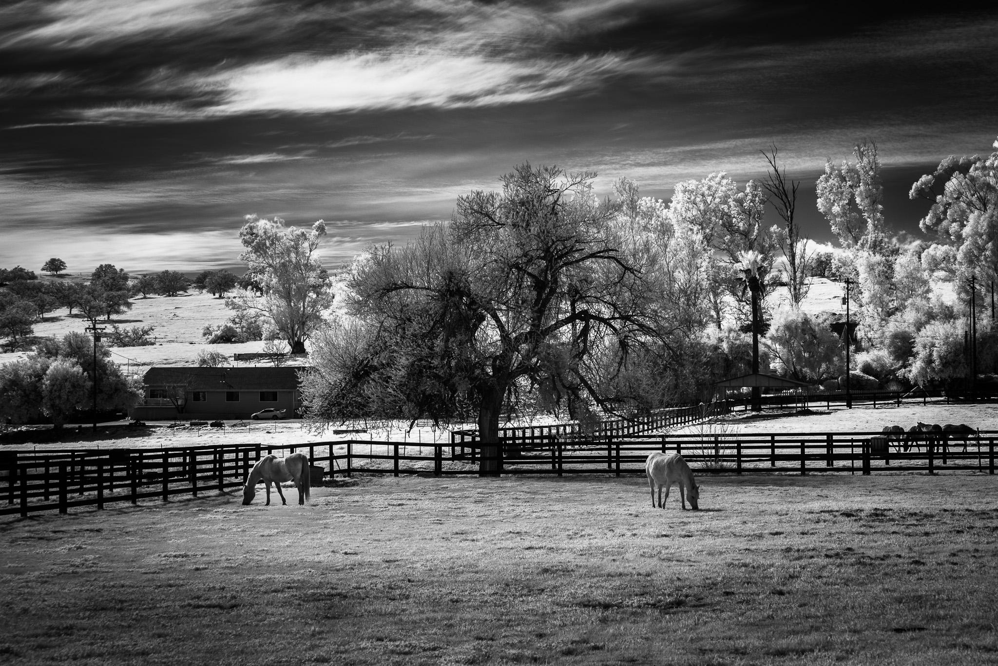 Horses In Ramona Infrared