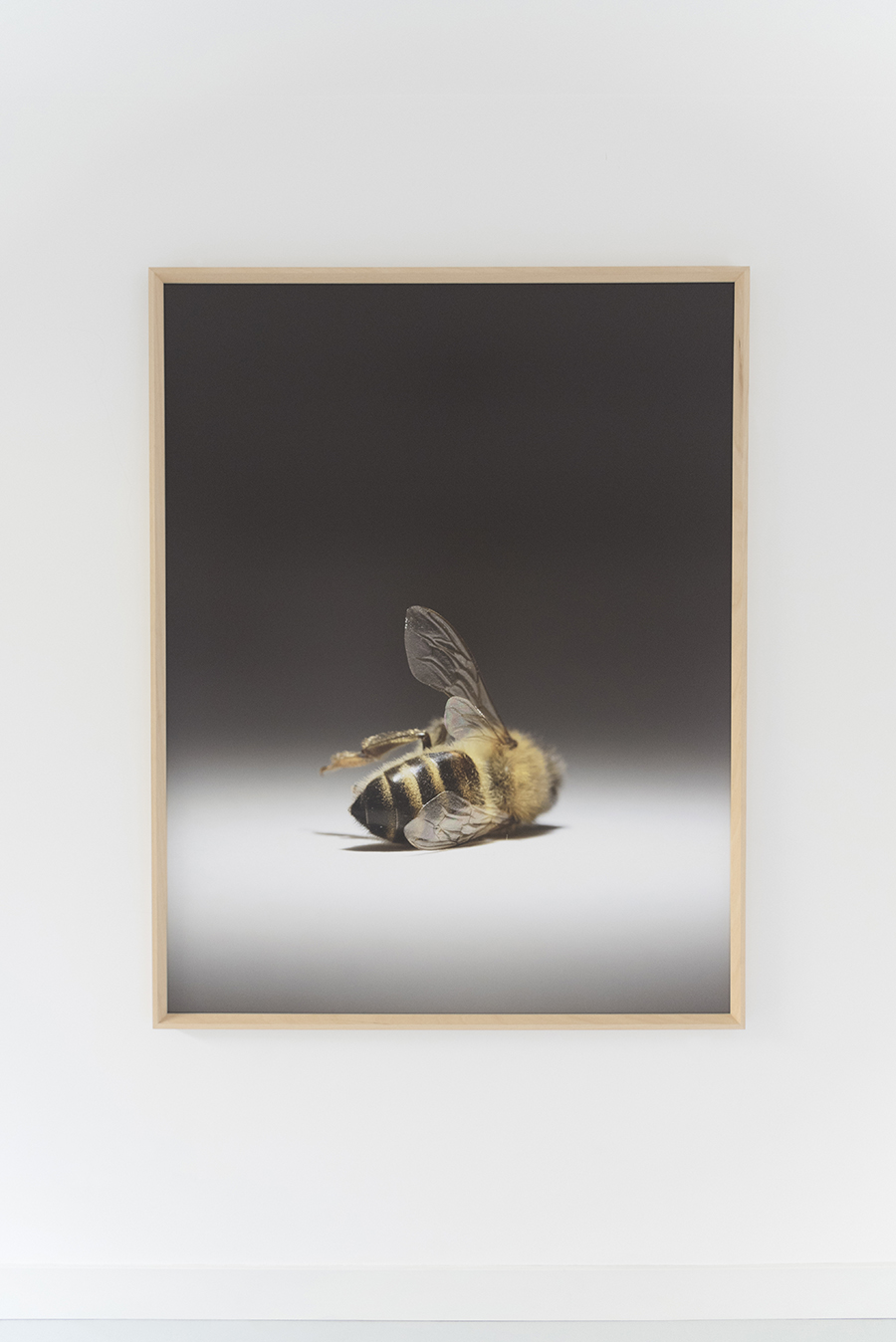"""Martyr   Year : 2017  Materials : Digital print on Canson Platine Fibre Rag, 310grams, framed and mounted on 2mm Dibond  Dimensions :165 x 128 cm  Edition :3 signed pieces / SOLD OUT  Photo : Studio Libertiny  This carefully composed large photograph is of a dead honeybee that I found in front of a beehive. The image is both symbolic and literal. The death, slow and gentle, is played out on a theatre stage. There is no blood, no sign of old age. The bee, which could be sleeping, is anonymous as its face is turned away from the audience. It does and it will imply many themes such as sacrifice or raise a question of fate and predestination. However, as it is with current political turmoils, the victims are always the hardworking and the innocent. Just like the famous painting The Death of Marat by Jacques-Louis David, the photo doesn't show the murderer. Our Charlotte Corday is ignorance. In another suddle reference, the photo has exactly the same dimensions as the original painting hanging in Musee Louvre and Royal Museums of Fine Arts of Belgium. The fragility of life and nature couldn't not be more obvious. Today, there are still loud political figures who deny the scale of global warming is a result of human activity despite all the evidence. The truth has become a matter of an opinion. Everybody seems to quote Albert Einstein on what he said about bees. However, he also said: """"Two things are infinite: the universe and human stupidity; and I'm not sure about the universe."""" The artwork also appeared on the cover of TL Magazine issue 26 in collaboration with Spazio Nobile."""