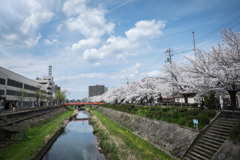 Il fiume che attraversa Tottori con i ciliegi in piena fioritura.