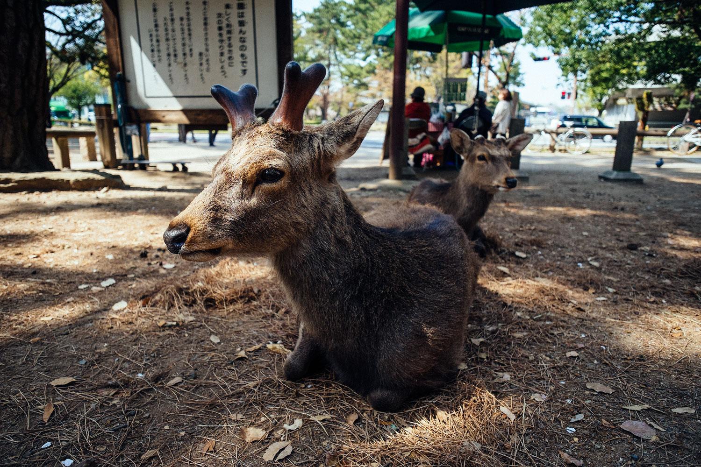 I cervi del parco di Nara