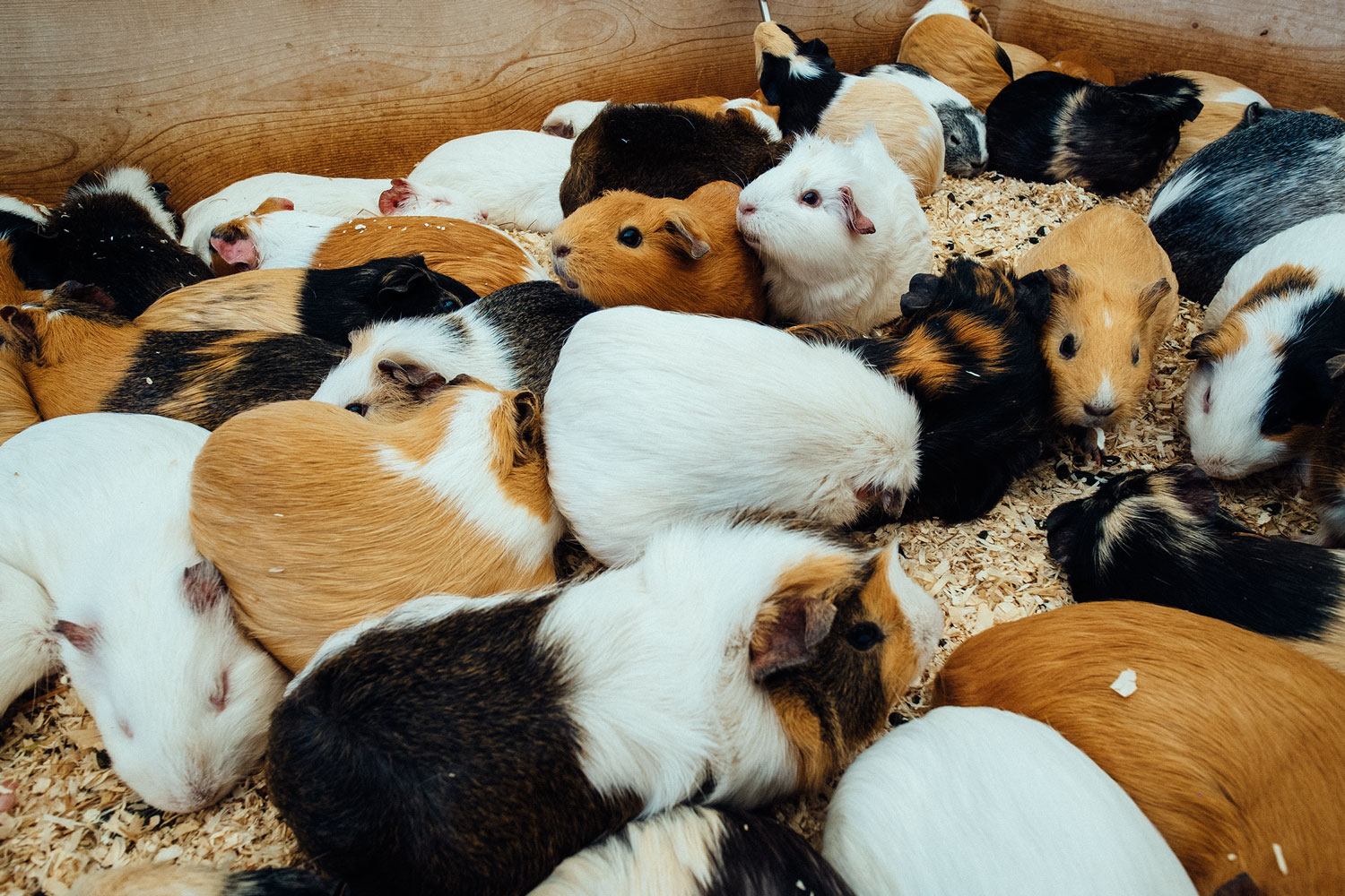 A literal BOX full of guinea pigs to play with. If that can't cheer you up, I don't know what will..
