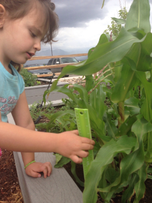 Measuring the growth of the school garden