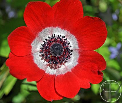 anemone red_edited-1.jpg