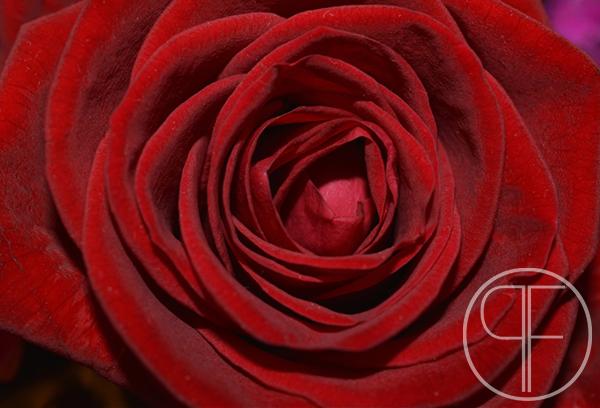 red rose_watermarked.jpg