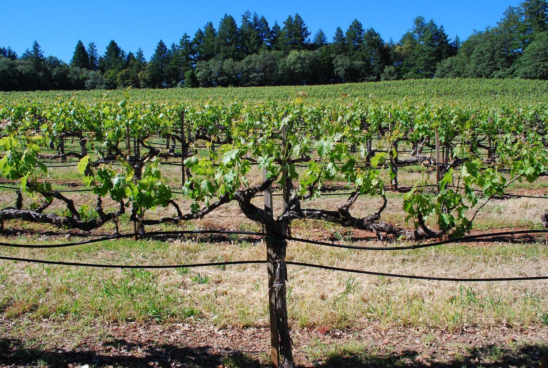 Prides Blessed Vine #1.jpg