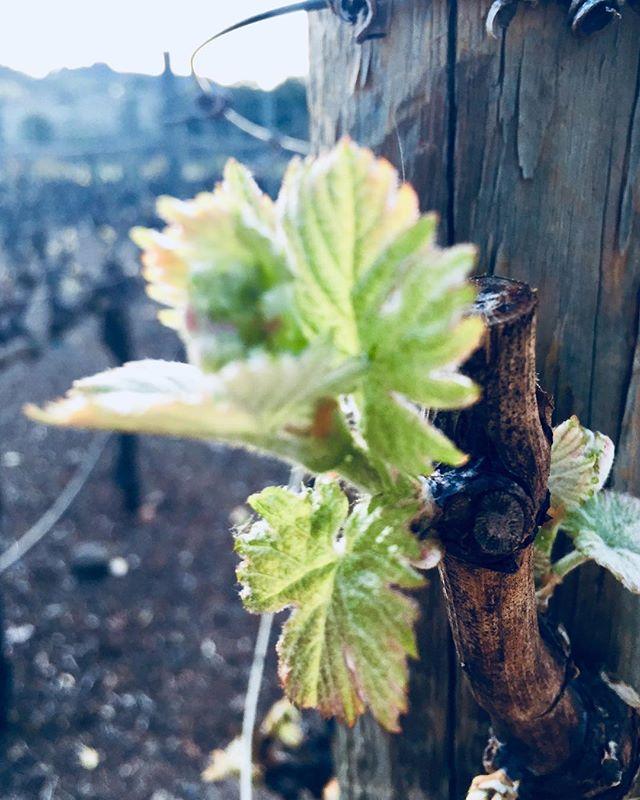 Spring in Napa Valley. #budbreak  #spring #happyspring #napavalley