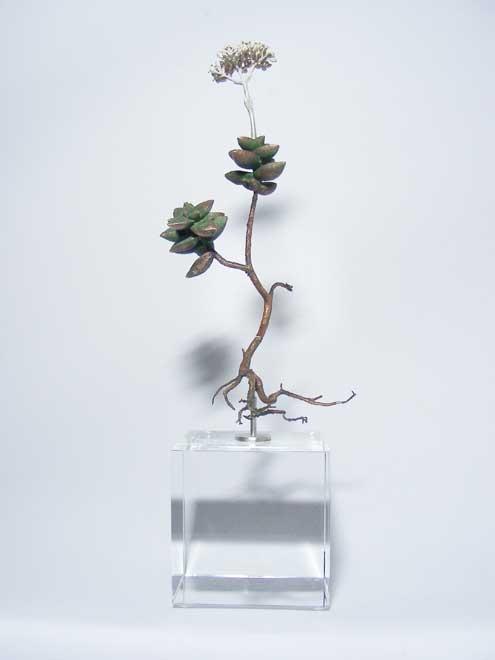 Nic Bladen-Crassula rupestris (sosatiebos)2.jpg