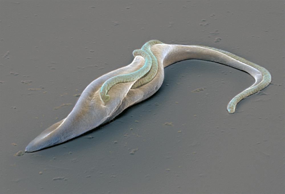 Trypanosoma brucei brucei