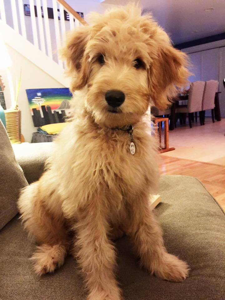 TEDDY  Teddy at almost 20 weeks old. So fun and incredible personality. We love him!  — with  Melissa Boroughs