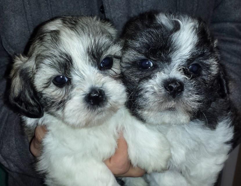 shi pups m&f.jpg