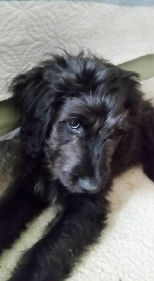 THEO     Star View Kennels , we are loving this little Theo! Thank you so much!!     - Martha Bryhn Partridge