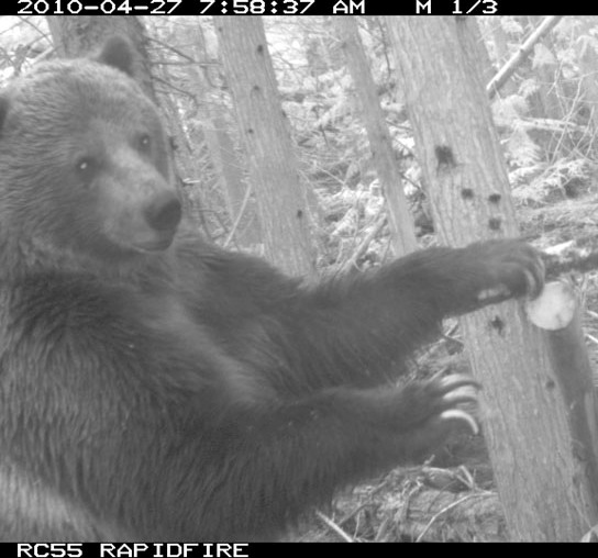 Grizzly bear captured on remote camera in the North Cascades near Manning Park and the BC/US border.